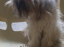 كلب تيريري للبيع