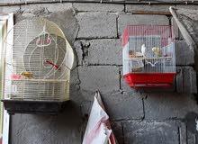 طيور الكناري اقره الوصف