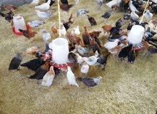 دجاج عمانيات عمر 60 يوم