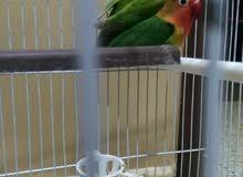 عصافير فشر