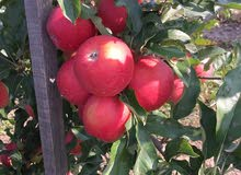 تفاح أوكراني للبيع