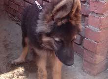 كلب جيرمن شيبرد للبيع 6 شهور
