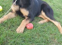 كلاب جيرمن شي توب كلاس للبيع ( جرو) Top Class GS dogs