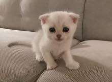 Scotch Fold Kitten Pure-White
