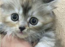 قطة الصغيرة للبيع