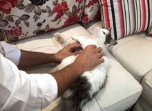 قطة شيرازي أمريكي