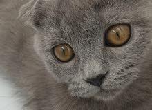 Scottish gray kitten