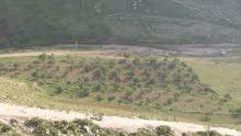 ارض زراعية يوجد فيها افخم انواع زيتون عدد 140شجرة زيتون و40شجرة لوز مثمر