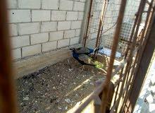 ذكر طاووس هندي للبيع او للبدل على حمام