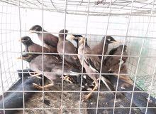 طيور الياسمين المينا