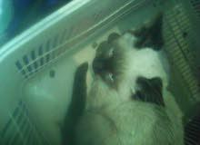 قطط لي البيع الاسم كيتي
