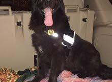 كلب بوليسي جيرمان شبر