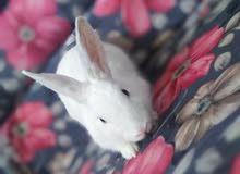 بيع أرنب ابيض ليس لديه اي أمراض وليس عدواني تجاه الاطفال بل كامل في صامطه