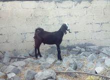 تيس بنجابي عمره 5شهور ونص لتوصل على واتس 97354159