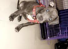 كلب بتبول العمر شهرين
