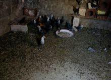 فراريج دجاج بلدي وفيومي للبيع