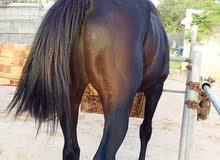 حصان انجليزي توربرد الله يبارك