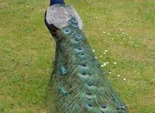 طاووس    ا