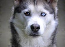 كلب هاسكي عمر 4 اشهر