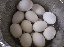 مطلوووب بيض للتفقيس اي شي