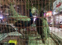 طاووس للبيع بسعر مميز