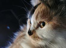 قطة انثى العمر سنة وثلاث شهور
