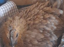 دجاجه كافه للبيع