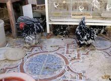 للبيع بيض دجاج بلاك موتلد كوشن