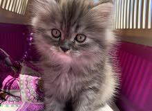 قططتين للبيع ابيض ورصاصي  الواحد 1500