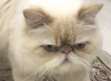 male peke face for mating ,