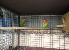 البيع طيور