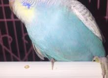 عصافير الحب ( اليفه )