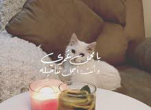 قطه اثنى شيرازي ، قطه انثى مع اطفالها مهجنه . ) قابل للتفاوض