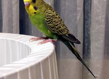 طائر بادجي صحته ممتازة