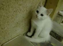 للبيع قطة شرازي