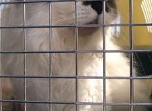 قطة من نوع هملايا ( ذكر)