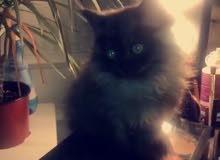 قطة صغيرة انثى