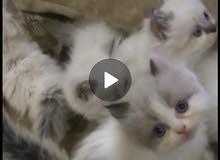 قطط صغيره هملايا وراغ دول