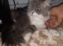 قطط انتي نوع انقري فيس