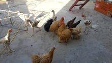 دجاج هراتي عمر 7 عنيف بالقتال مع دجاج براهمه بسعر مغري جدا