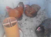 كوبية دجاج كلاي سبرايت احمر .........حجم ماشاء الله .