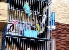 عصافير استرالي وسلاكة بلوزمها