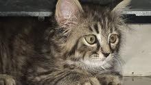 قطط فاريسيات للبيع لا أعلى سعر