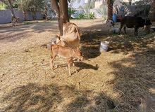 بقرة عمانية راهية مع بنتها