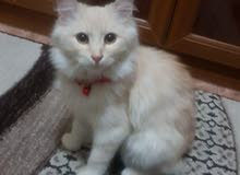 قطه انجورا أنثى العمر 5 أشهر  (مستعجل)