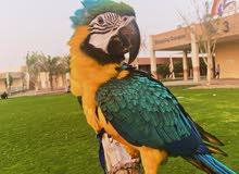 Blue and golden Macaw for URGENT SALE