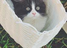 قطه باندا عمر شهر وسبوع