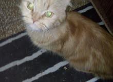 قطط شيراز للبيع