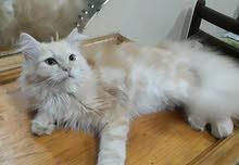 Light brown male shirazi cat