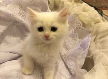 قطه وقط سبيري  عمره شهرين